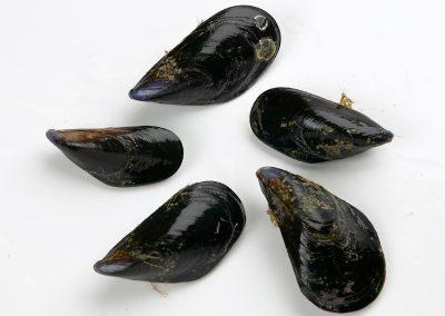 Mediterranean Mussel