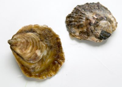 Flat Oyster